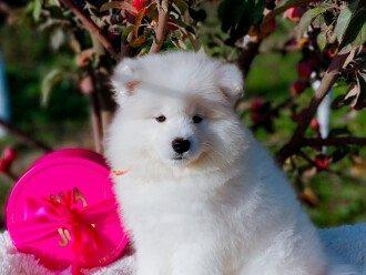 Изумительной красоты щенки Самоеда