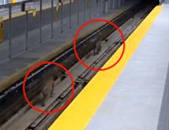 Две пумы были замечены на ветке метро в Канаде (ВИДЕО)