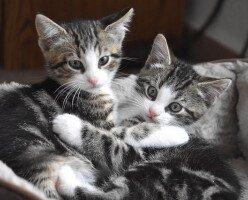 В Метро-Ванкувер приюты SPCA переполнены котятами, нуждающимися в любящих семьях