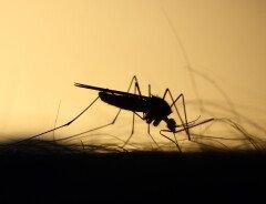 Глобальное потепление может способствовать распространению болезней, передаваемых комарами