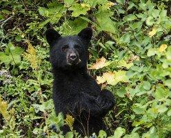 В Канаде черного медведя пришлось убить из-за того, что его подкармливали люди