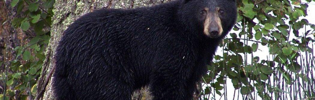 Убивать или не убивать? Как сотрудники охраны природы справляются с проблемными медведями