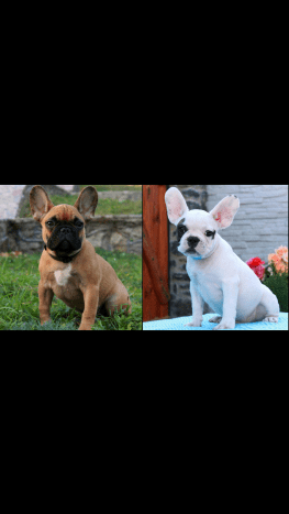 Show quality french bulldog puppy