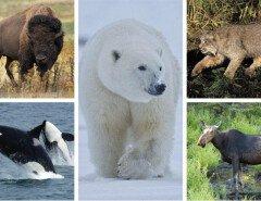 Животные Канады: национальные символы страны кленового листа