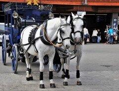 В Ванкувере подписывают петицию об отмене конных экипажей в Стэнли-парк