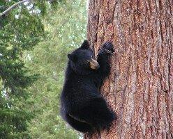 Онтарио предлагает полностью вернуть весеннюю охоту на медведей