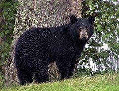 В зоопарке Ванкувера медведь напал на ребенка