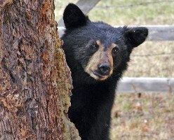 В Ванкувере теперь запрещены шумовые баллоны для отпугивания медведей