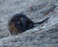 Как Альберта полностью уничтожила крыс в провинции