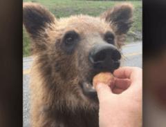 Мужчина из Британской Колумбии оштрафован на 2000 долларов за то, что кормил медведя Тимбитсом на Аляскинском шоссе