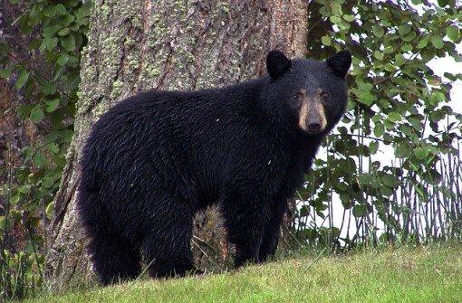 3 жителя Коквитлама арестованы после того, когда мешали сотрудникам поймать медведей