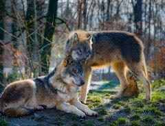 Альберта рассматривает расширение «неэтичной» программы убийства волков