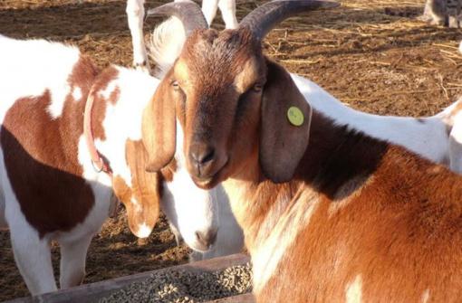 В Эдмонтоне няням для козлов будут платить $43 в час