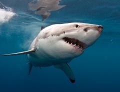 Акулы в Канаде: 8 акул в Британской Колумбии, о которых вы не знали