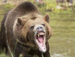 В Британской Колумбии запретили охоту на медведей гризли