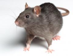 Холодная зима не помешает быстрорастущей популяции крыс в Ванкувере