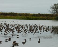 Птичий заповедник Рэифел (Reifel Bird Sanctuary)