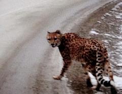 Гепард был замечен на шоссе в Британской Колумбии