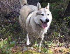 В Канаде охотник застрелил собаку-терапевта, приняв её за волка