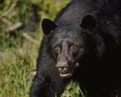 Нападение медведя в Порт-Кокуитлам: 10-летняя девочка находится в критическом состоянии