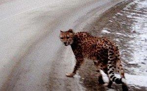 Гепард был замечен на шоссе в Бринской Колумбии