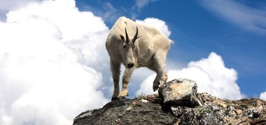 gora_goat